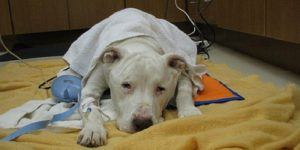 A white pitbull laying in a pet clinic, suffering from Pyometra