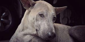 A greyhound laying down looking a bit sad