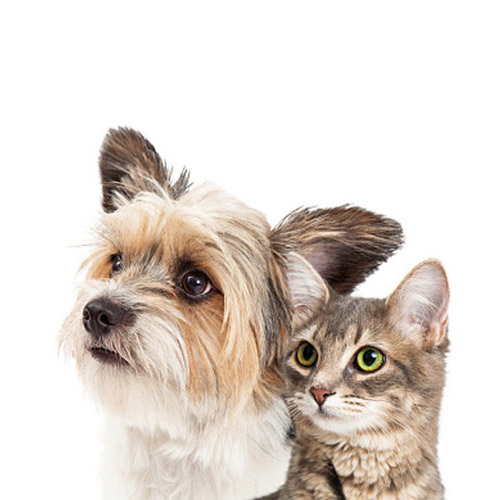 A gray tabby cat next to a yorkie dog looking up.