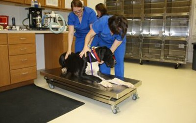 A dog being weighed on a scale by a vet tech at the clinic