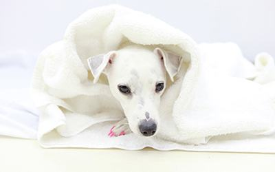 A white dog staying warm and comfortable after surgery