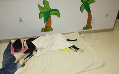"""A dog resting in the post-surgery, recovery area called """"The Beach"""""""