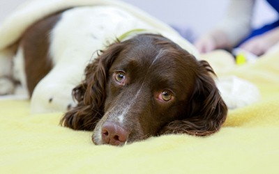 A dog resting after a day of surgery and recovery at the clinic