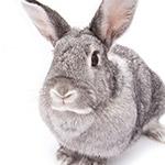 A gray bunny rabbit after surgery