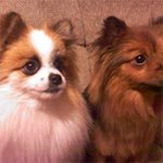 Two pomeranians sitting on a couch