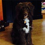 A dark brown, long-haired dog sitting on hardwood floors