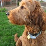 A golden doodle sitting on grass outside looking to the left