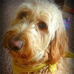 A close up of a golden doodle with a yellow bandana around his neck