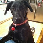 A black lab with a red collar standing up in the kitchen