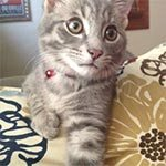 A light grey tabby cat laying on a floral pillow