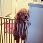 A golden doodle puppy climbing up on a baby gate