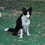 A black and white dog sitting outside on green grass with autumn leaves on the ground