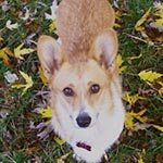 A brown and white dog standing on the grass with fall leaves around his paws