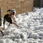 A brown and white dog running through the snow with his tongue sticking out