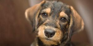 a black and tan puppy terrior