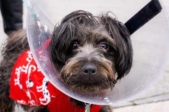 dog after neutering